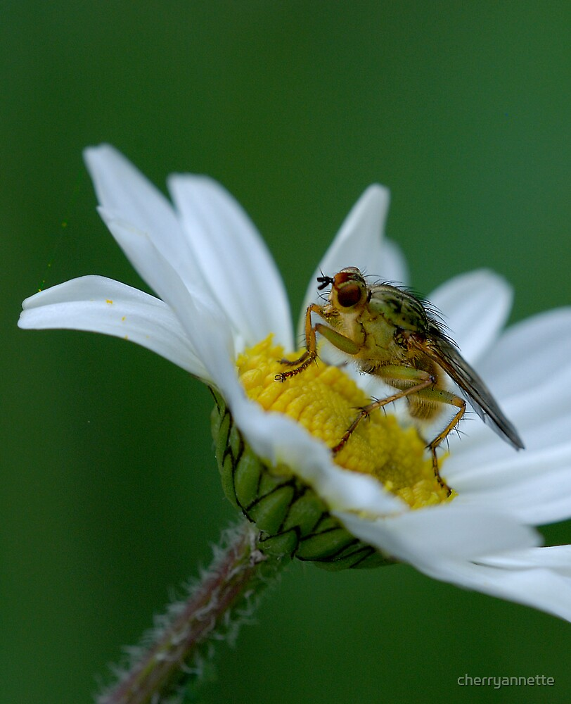 Dung fly on daisy by cherryannette