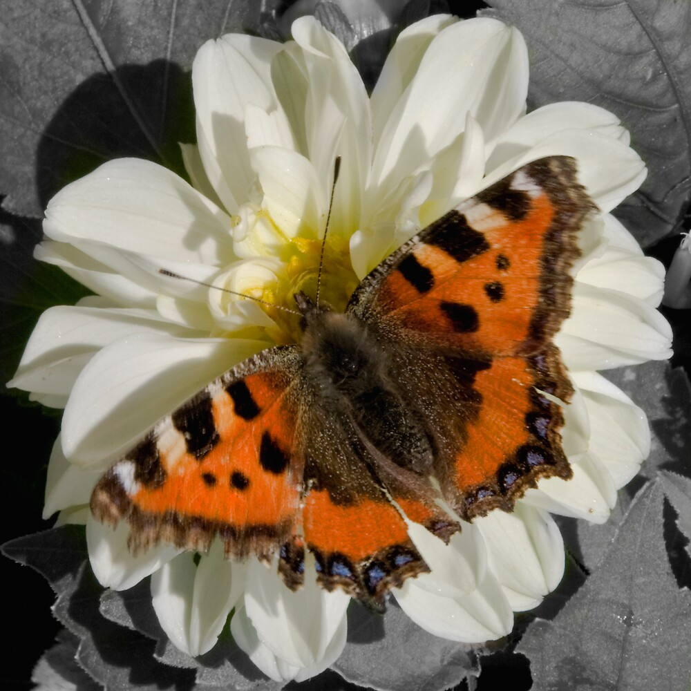 Butterflies and Dhalia's by Chris Clark