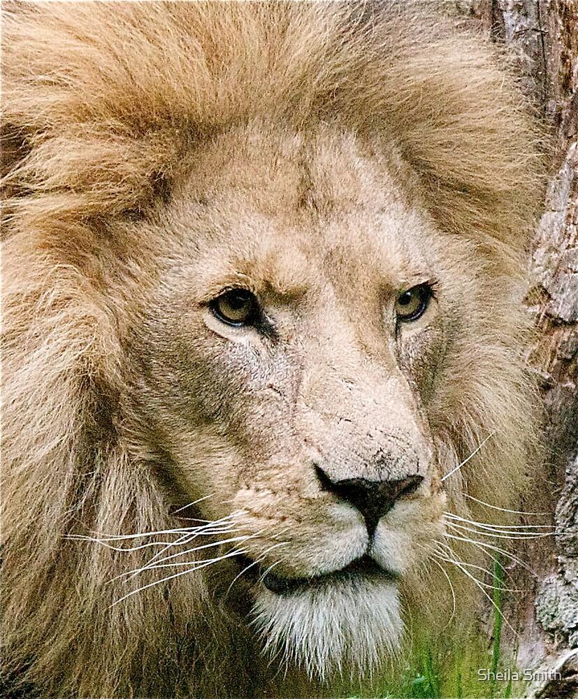 Lion by Sheila Smith
