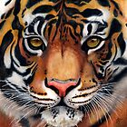 Animalia: Tiger by NoelleMBrooks