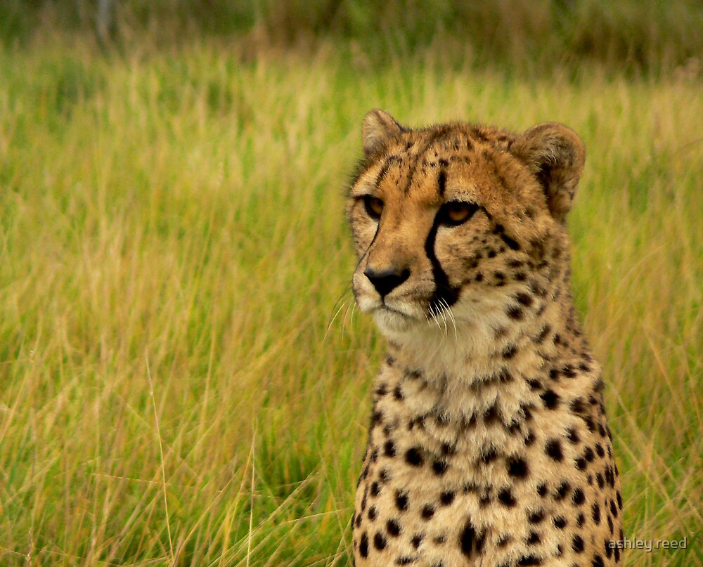 cheetah by ashley reed