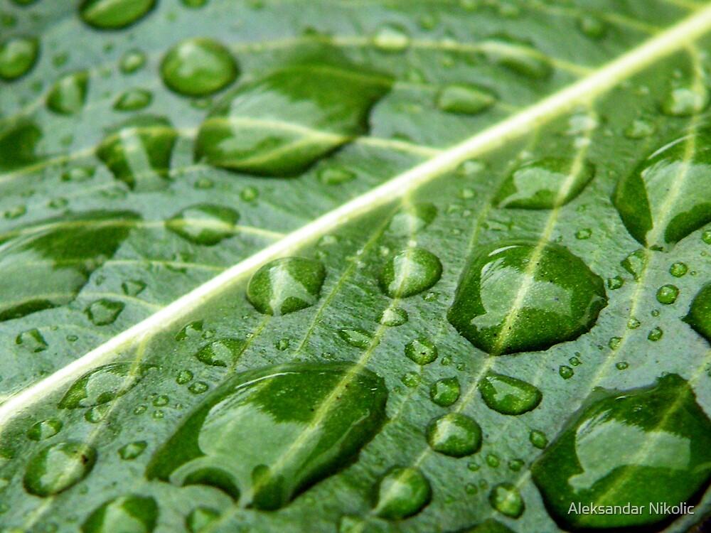 Drops on a leaf by Aleksandar Nikolic