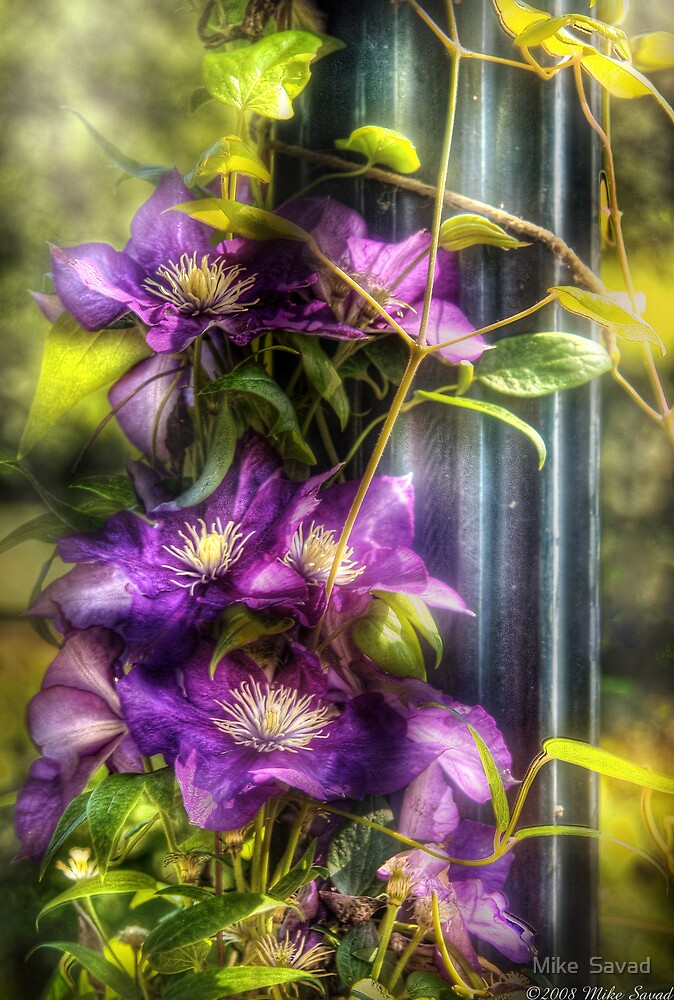 Clematis by Michael Savad