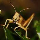 Grasshopper by AnnDixon