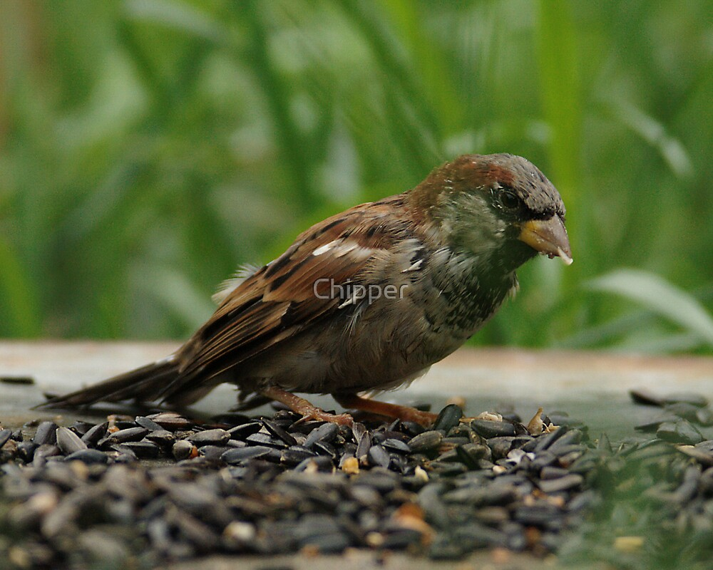 Sparrow by Chipper