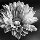 Chrysanthemum morifolium by John Edwards