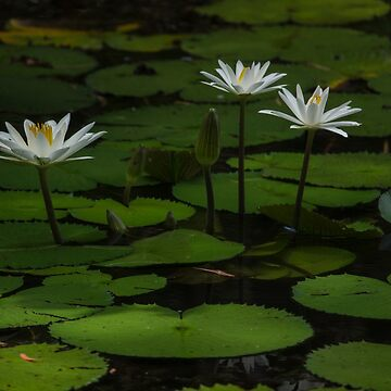lilies #1 by colhellmuth