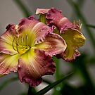 """Wisteria"" Daylily by Michael Cummings"