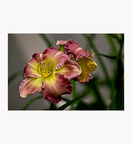 """Wisteria"" Daylily Photographic Print"