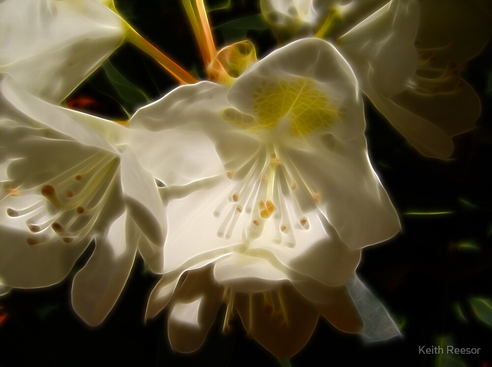 White Rhododendron by Keith Reesor