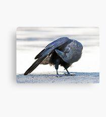 Common raven preening in Algonquin park Metal Print