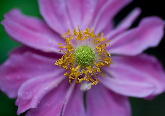 Japanese Anemone by jenndes