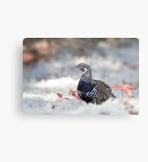 Spruce Grouse male in lichen in Algonquin Park Metal Print