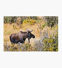The Moose Is Loose Photographic Print