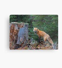 Red fox in Algonquin Park Metal Print