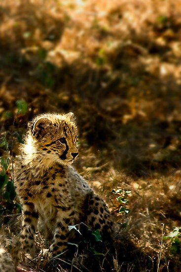 Why the Cheetah's Cheeks are Stained by Didi Bingham