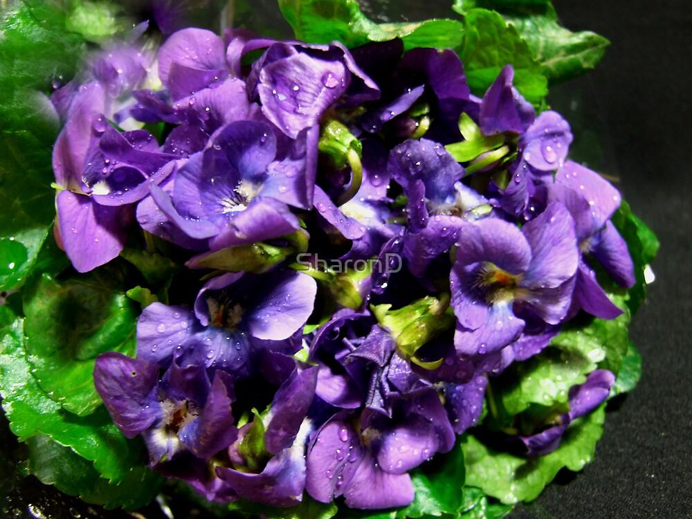 Vivid Violets by SharonD