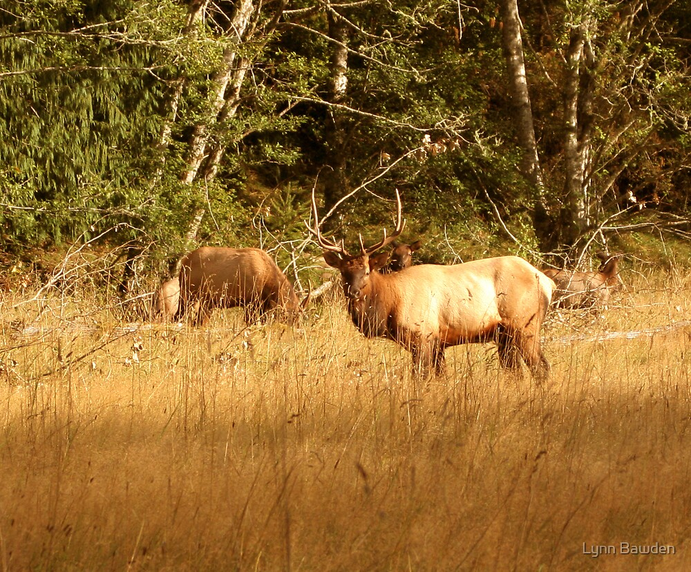 """Roosevelt Elk"" by Lynn Bawden"