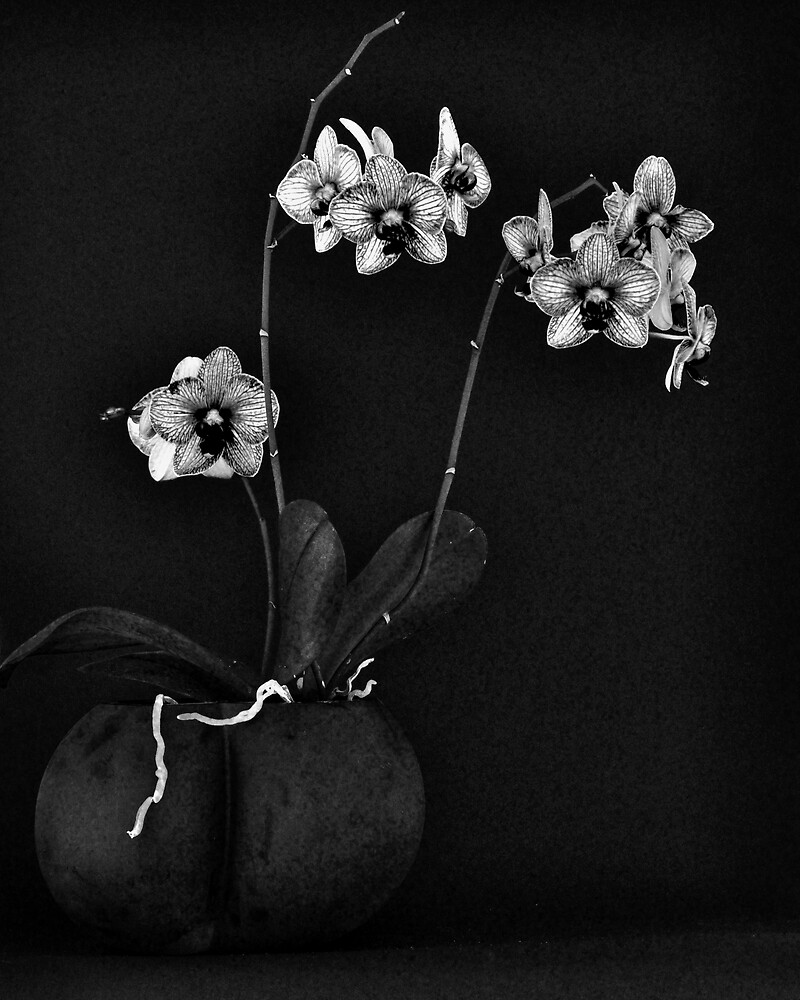 Orchid #11 by Thomas Barker-Detwiler