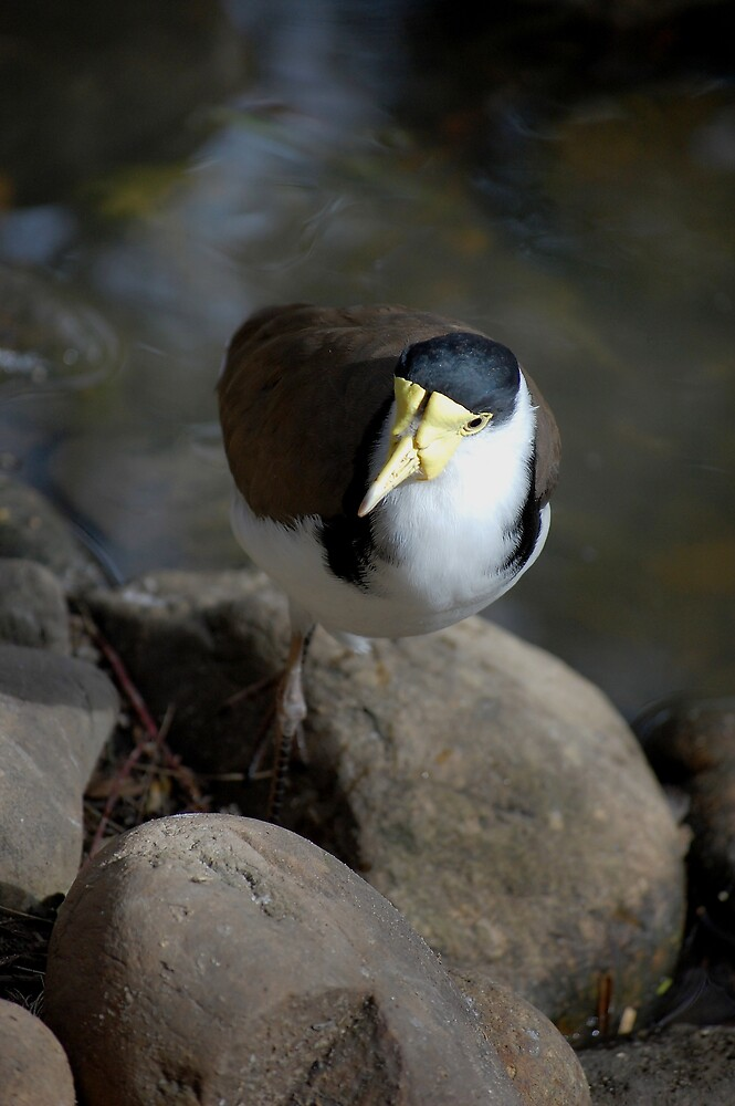 Masked lapwing by David  Hall