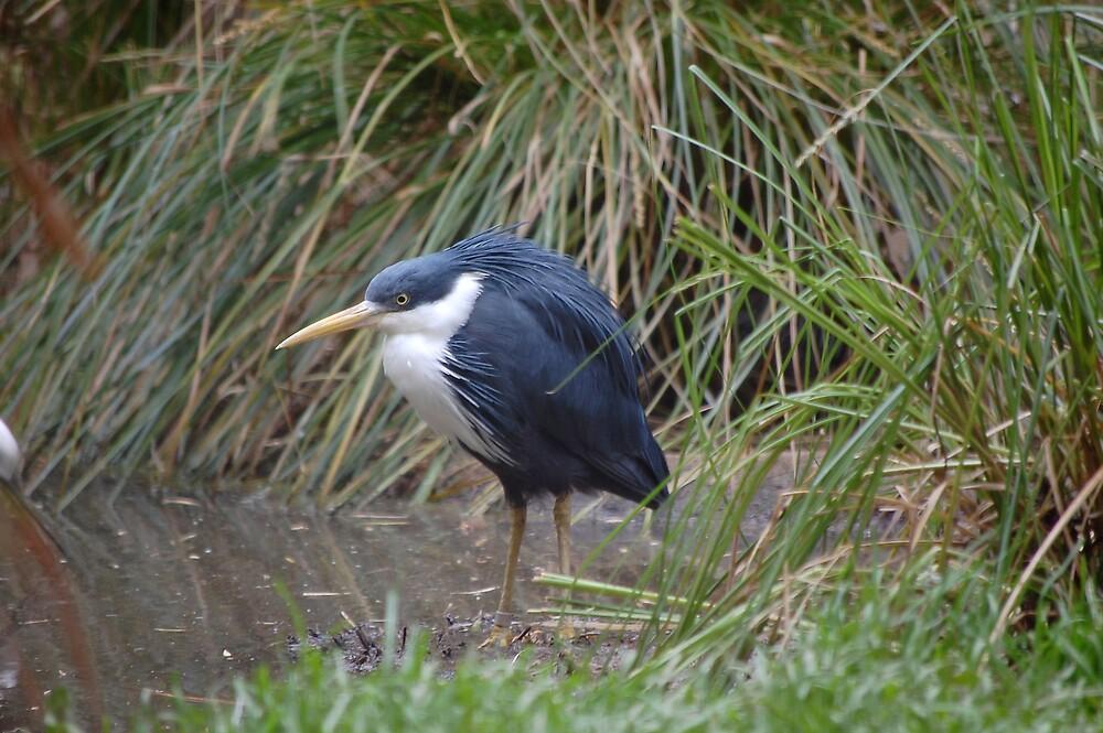 Blue heron by David  Hall