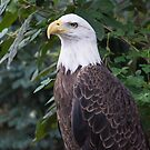 American Bald Eagle by Imagery