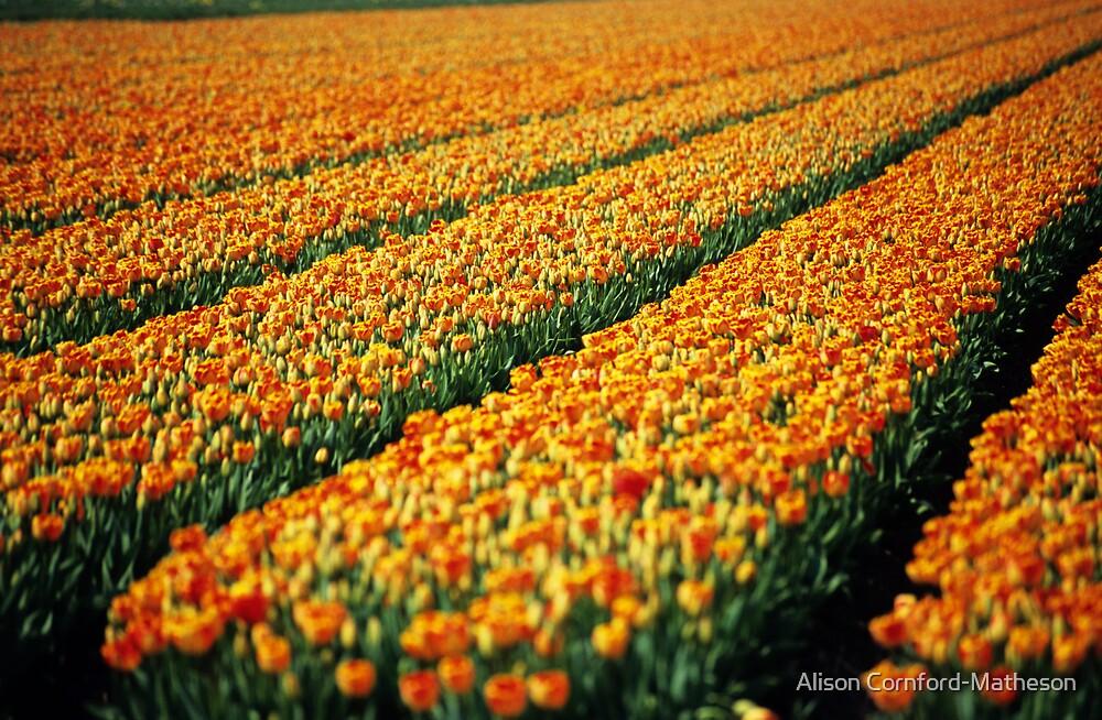 Field of Orange  by Alison Cornford-Matheson