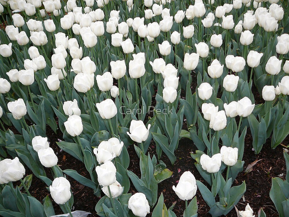 White Tulips by tazgirl50