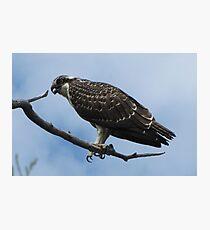 Wild Osprey Photographic Print
