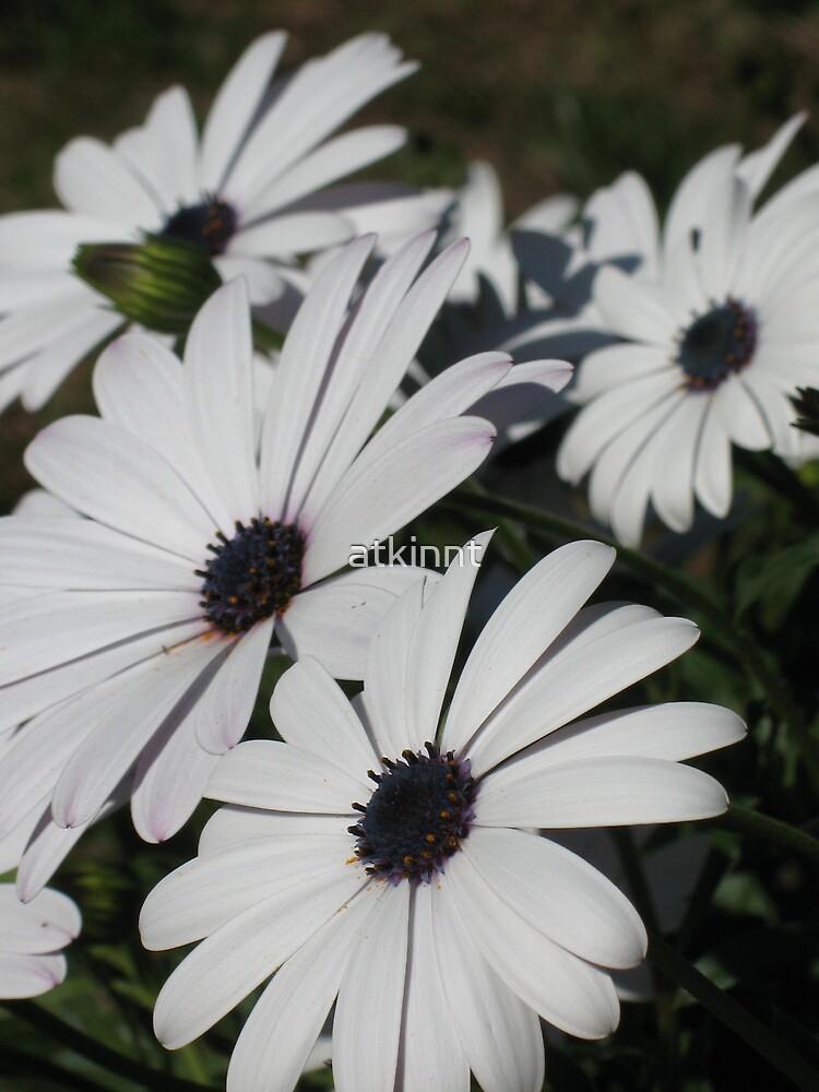 White Daisies by atkinnt