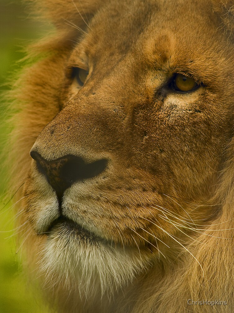 A Regal stare by ChrisHopkins