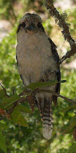 laugh kookaburra laugh by scarlettheartt