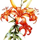 Orange Asiatic Lily botanical art by Sarah Trett