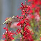 Ruby Throated Hummingbird 2017-3 by Thomas Young