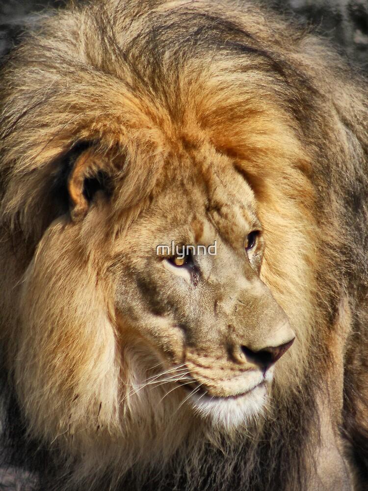 African Lion by mlynnd