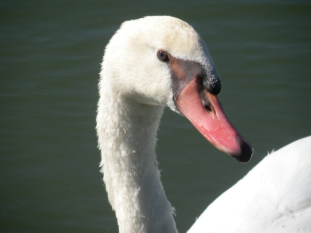 Swan up close and personal ! by Bonnie Pelton