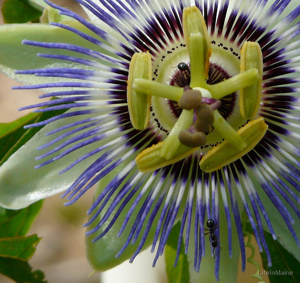 Passionflower by LifeInMaine