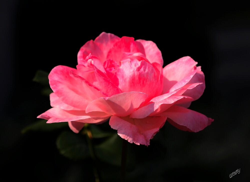 Pink Lady by shadyuk
