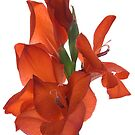 Elegant Gladiola by Ann Garrett