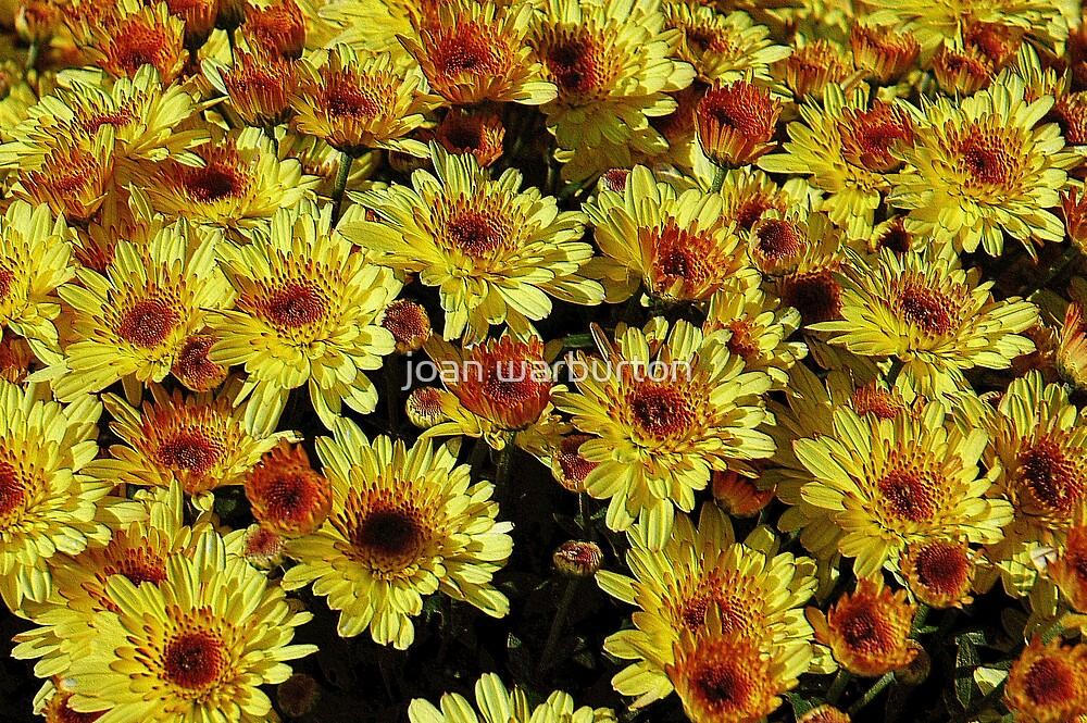Yellow Mums by joan warburton