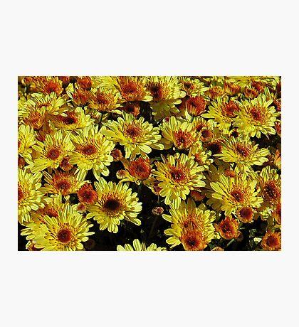 Yellow Mums Photographic Print