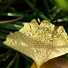 Dew drops on a maidenhair tree leaf by SammyPhoto