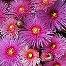Beautiful Pink Pigface Flowers by Joy Watson