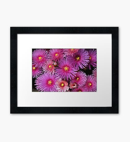 Beautiful Pink Pigface Flowers Framed Print