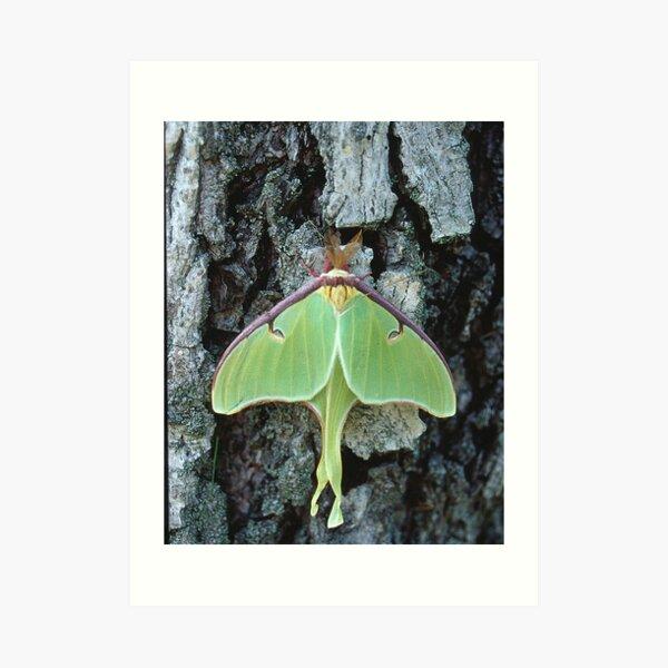 Luna Moth, Elkton, Maryland Art Print