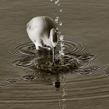 Grey Egret Catching Fish by Ohlordi