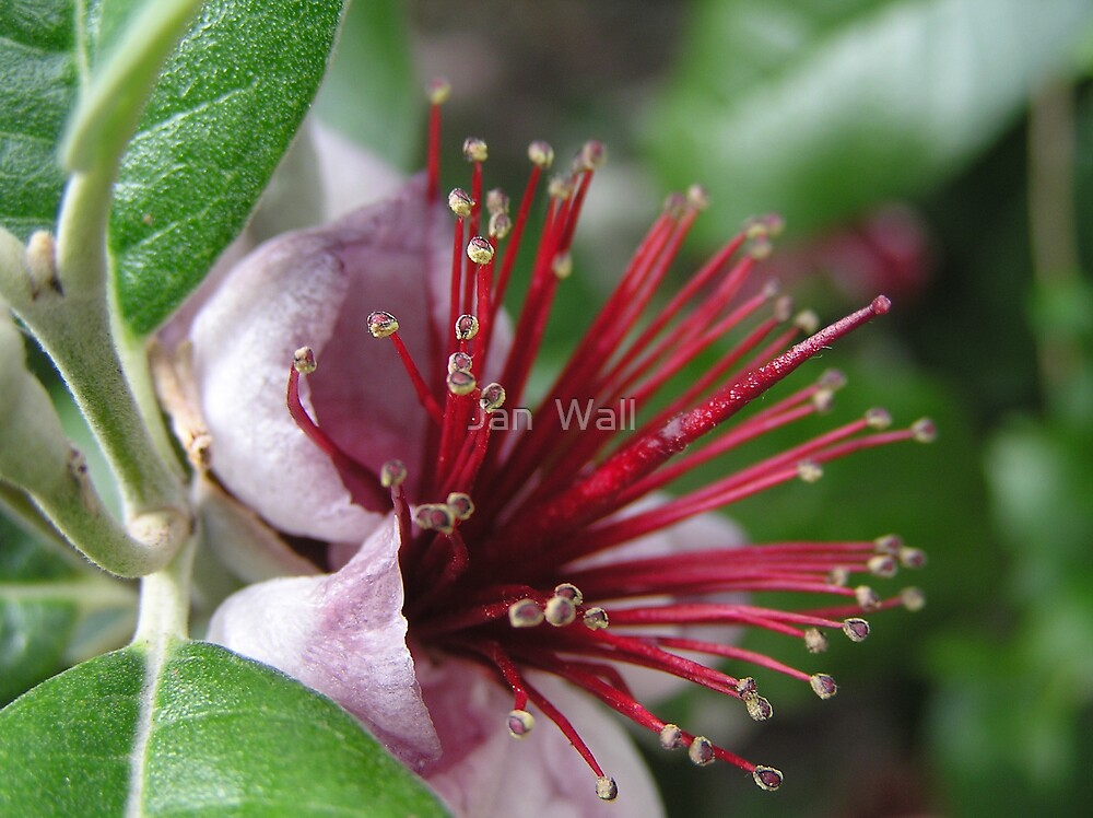 Pineapple Guava by Jan  Wall