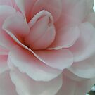 Camellia by Jan  Wall