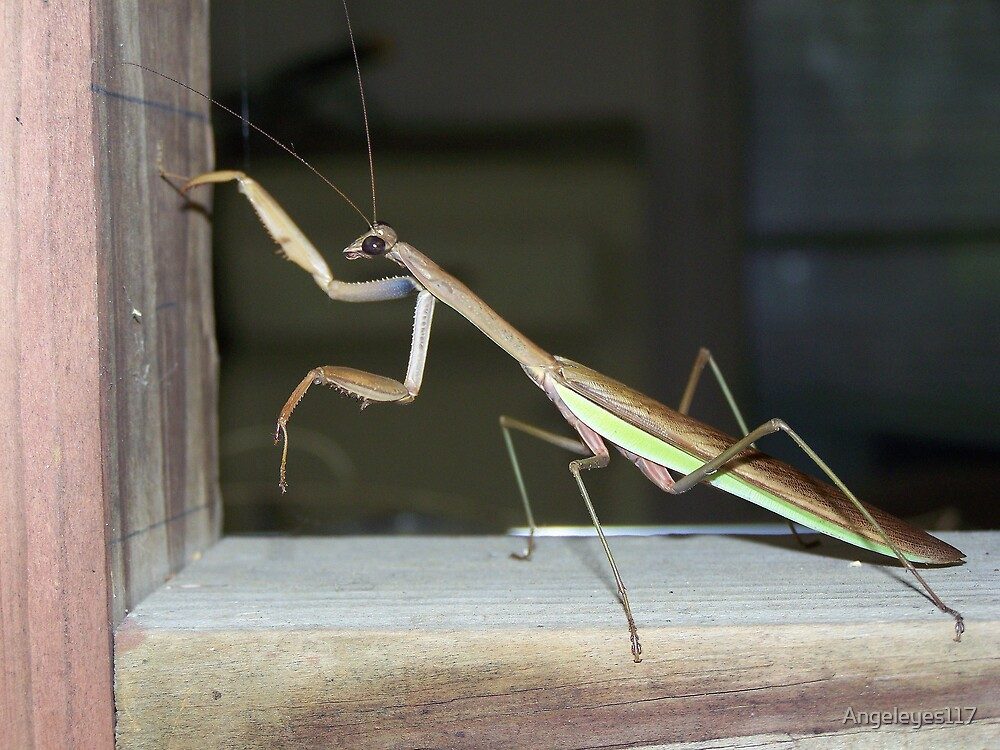 Praying Mantis by Angeleyes117