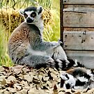 Ringed Tailed Lemur and Baby by AnnDixon